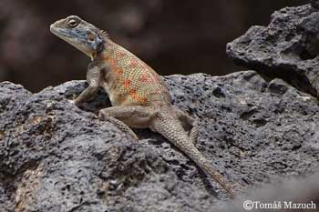 Agama spinosa